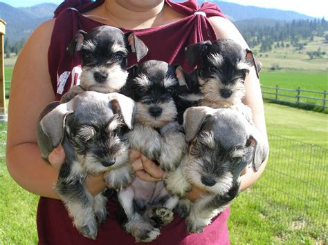 pictures of schnauzer puppies valley ranch s schnoodles and miniature schnauzers winter doesn t want