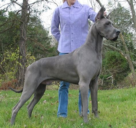 German Dog Breeds Weimaraner   Dog : Pet Photos Gallery#