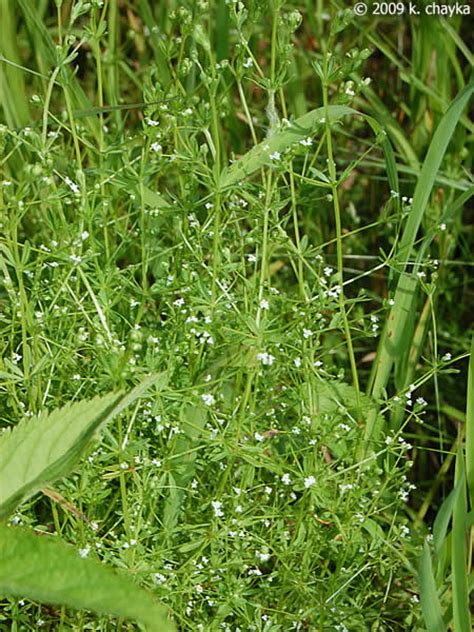 bed straw galium tinctorium stiff marsh bedstraw minnesota