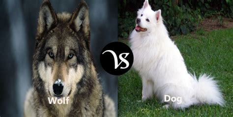 difference between wolf and difference between wolf and difference all