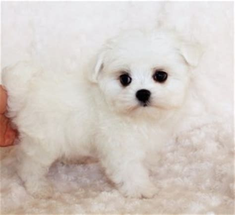 puppies for sale california maltipoo puppy for sale california quot lil roo quot iheartteacups