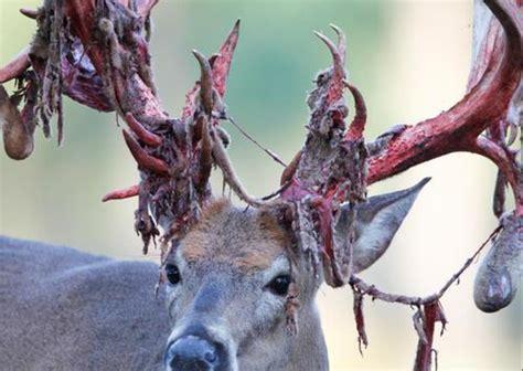 Deer Shedding Antlers 10 awesome photos of deer shedding their velvet pics
