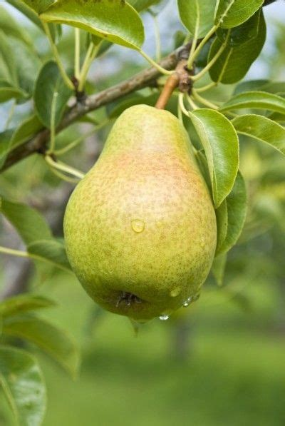 Bibit Cherry Suriname 17 best images about garden delights fruits fruit trees
