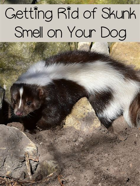 getting rid of skunk smell on your