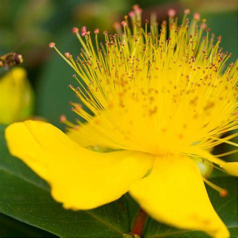 millepertuis couvre sol hypericum calycinum lot de