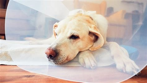 rectal prolapse in dogs rectal prolapse in dogs symptoms causes treatments dogtime