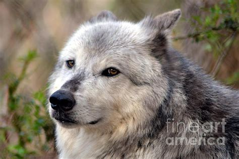 grey wolf puppies for sale 1 8 images frompo