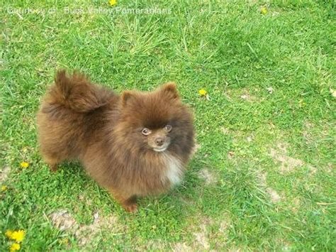 turkish pomeranian pomeranian breed pictures photo of dolly the pomeranian breeds picture