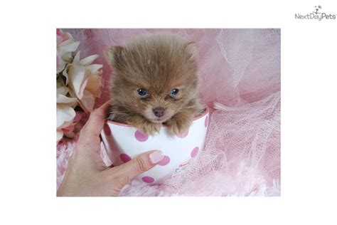 teacup pomeranian puppies florida pin pomeranian florida rescue on