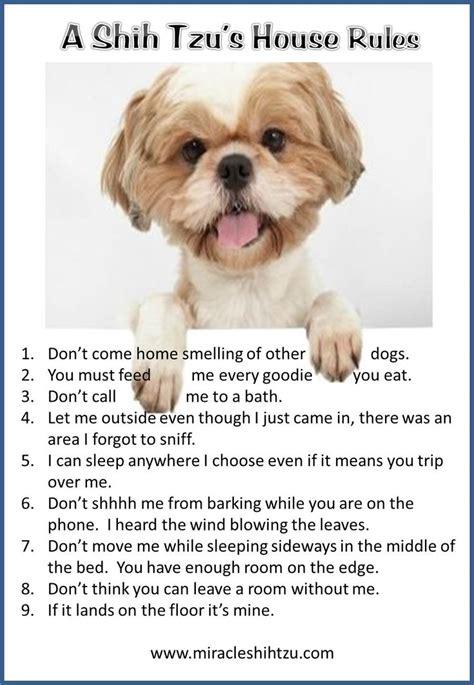 how to house a shih tzu puppy best 25 shih tzu ideas on shih tzu puppy shih tzu and shitzu puppies