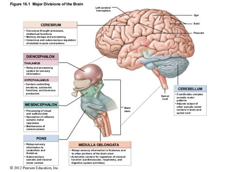 major sections of the brain ch 16 lecture presentation