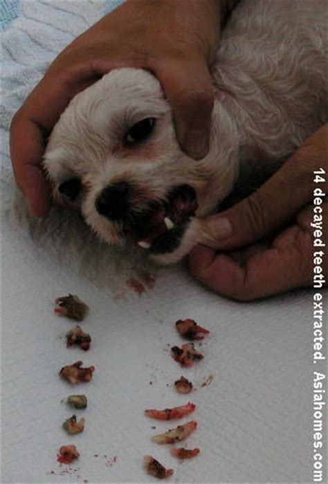 age puppies lose teeth 20091203dental veterinary cases singapore toa payoh vets singapore toa payoh