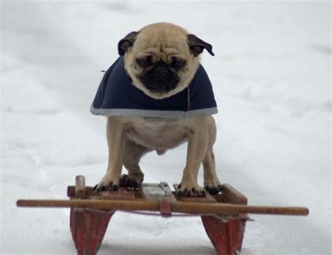 do pugs need a lot of exercise pugpugpug what are the exercise requirements for a pug