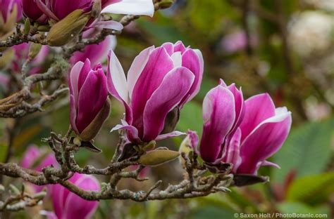 magnolias winter flowering trees
