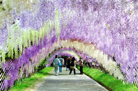 wisteria flower tunnel japan things to see in japan the wisteria flower tunnel of