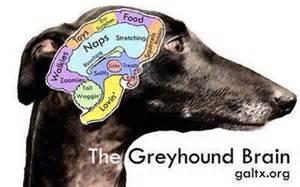 Sighthounds On Sofas Whippet Brain Poppypupblog