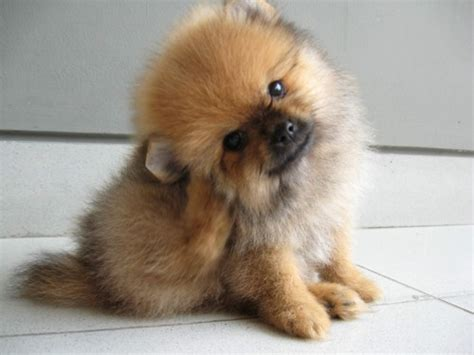 price of pomeranian puppies pomeranian puppies photograph pomeranian pictures names
