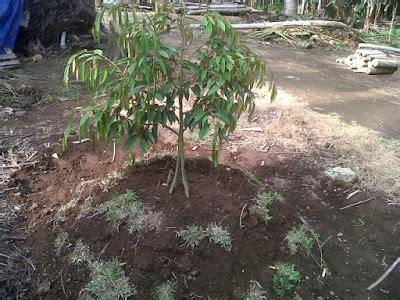 tips tips  pohon durian pendek berbuah lebat kebun