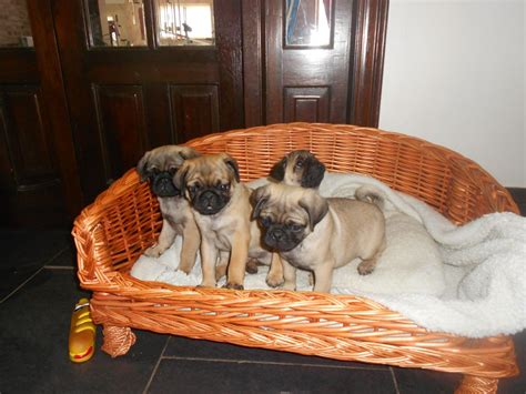 pug puppies for sale west pug puppies for sale pontefract west pets4homes