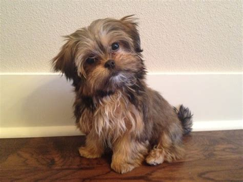pictures of shorkie dogs with long hair shorkie haircuts haircuts models ideas