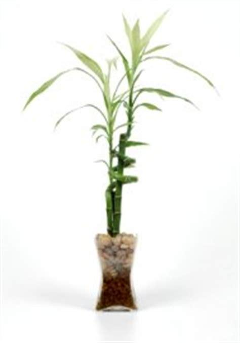 lucky bamboo house plants dracaena sanderiana care tips