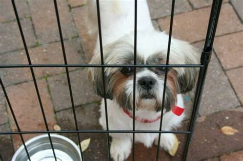 b barkers shih tzu 10 images about lhasa apso on tibet the goat and shih tzu