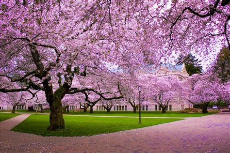 japanese cherry blossom tree cherry blossom desktop wallpapers wallpaper cave