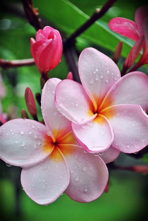 me 8813 frangipani pink 169 best plumeria images on ideas