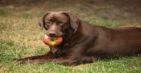 dogs and apples can my eat that a definitive guide to foods dogs can and can t certapet
