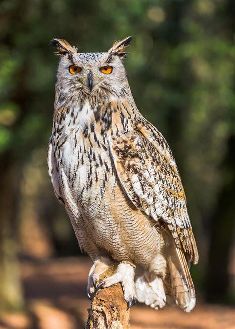 19 best images about owls on pinterest owls owl and siberian eagle owl owls pinterest owl eagle and bird
