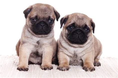 two pugs 45 pug collection golfian