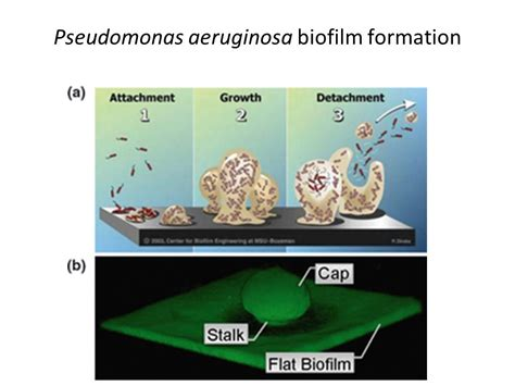 pattern formation in pseudomonas aeruginosa biofilms pseudomonas aeruginosa biofilm formation ppt video