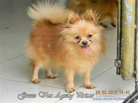 pomeranian small size dunia anjing jual anjing pomeranian dijual indukan pom small size murah