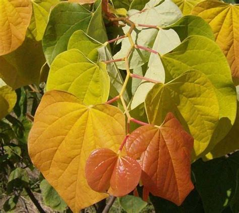 10 best images about eastern redbud cercis canadensis and cultivars on pinterest trees