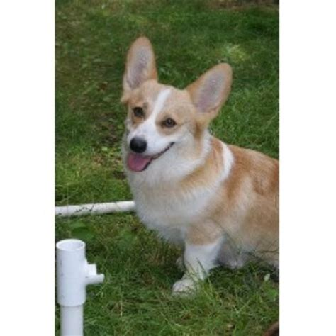 corgi puppies maryland pembroke corgi breeders in maryland freedoglistings