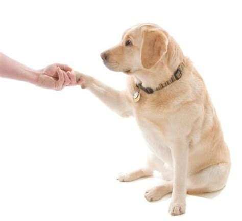 dog only eats from hand train your dog how to shake hands training dog tips 101