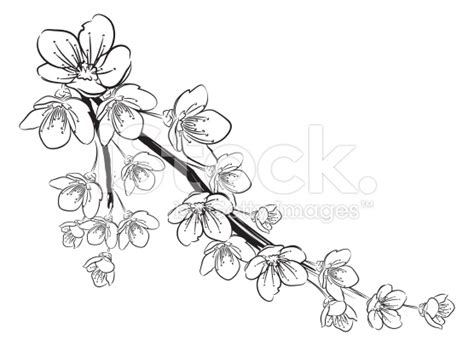 Cherry Blossom Branch Drawing Outline by Stock Illustration 35341962 Cherry Blossoms Black And White Jpg 556 215 406 Tattoos