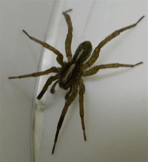 wolf spider michigan spiders
