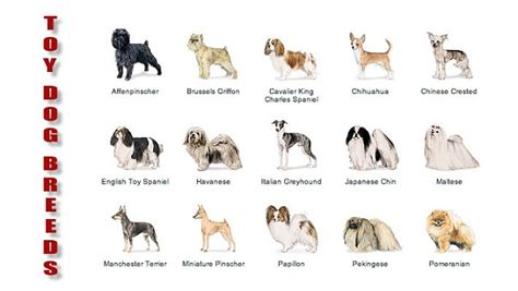 r breeds chihuahua breeds breeds picture