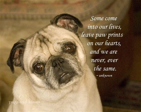 quotes about pugs pug inspirational quotes quotesgram