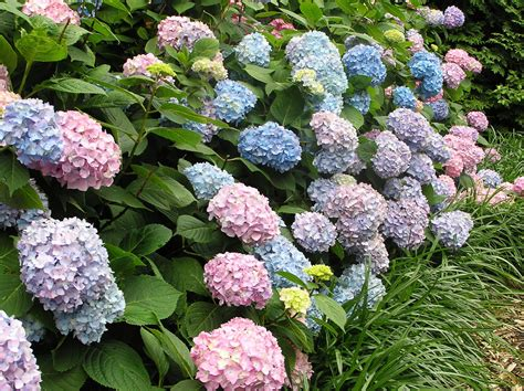 changing the color of your hydrangeas