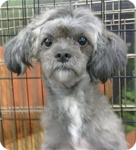 miniature poodle and shih tzu mix periwinkle adopted geneva fl shih tzu poodle miniature mix