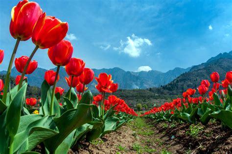 asias largest tulip garden  full bloom timecom