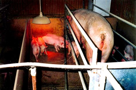 stall meaning humane choice coles cage sow stall free