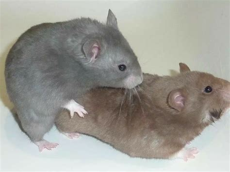 105 best hamster colors images on syrian