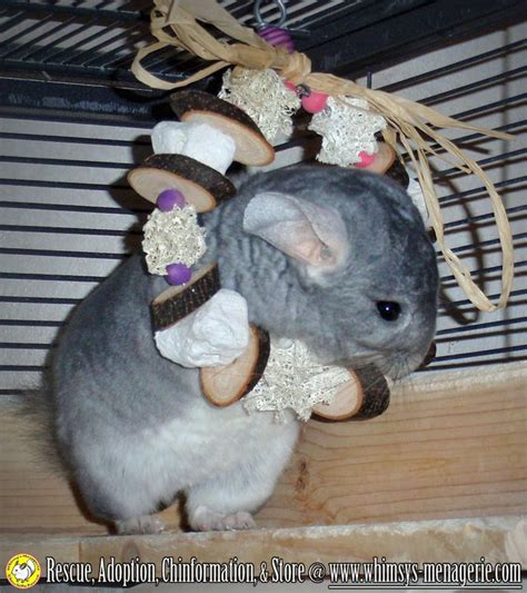 best 25 chinchilla toys ideas on pinterest toys for pigs cheap bunny cages and cheap guinea