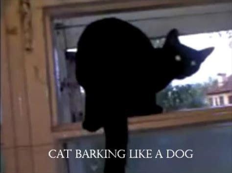 cat barking like black cat barking like a