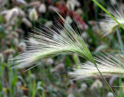 foxtail awns hordeum jubatum wikipedia