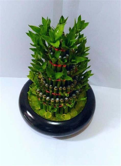 jual promo jual tanaman hias bambu hoki  pot keramik