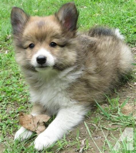 pomeranian sheltie mix puppies for sale poshie puppy sheltie pomeranian mix adorable fluffy small for sale in antrim